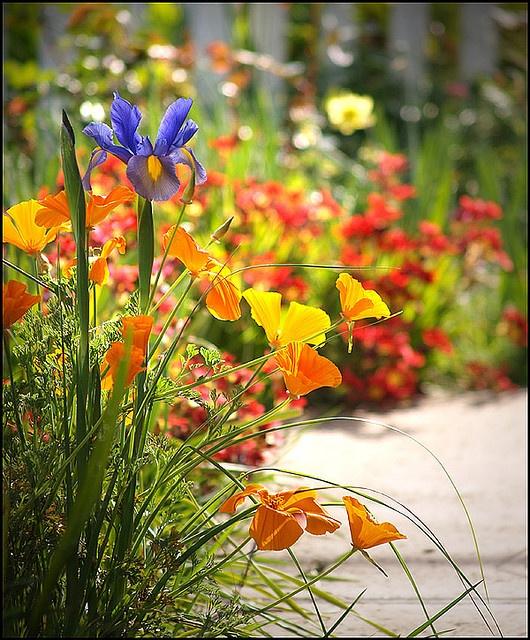 Iris and California poppies