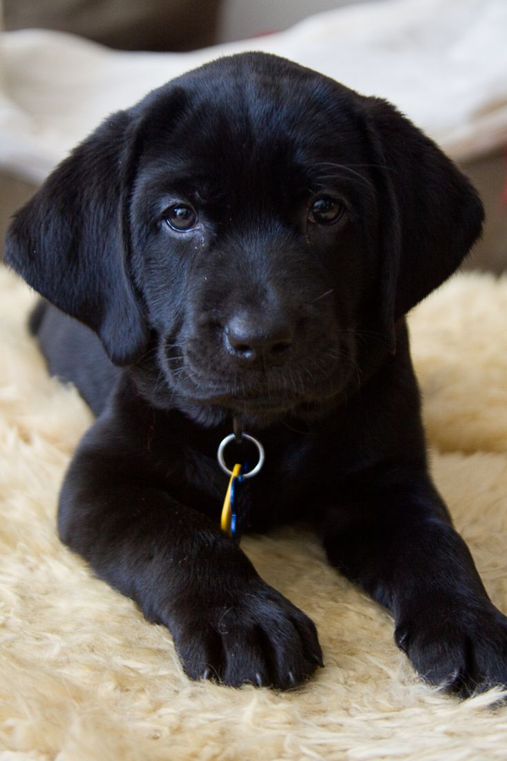 The gallery for --> Newborn Black Lab Puppies