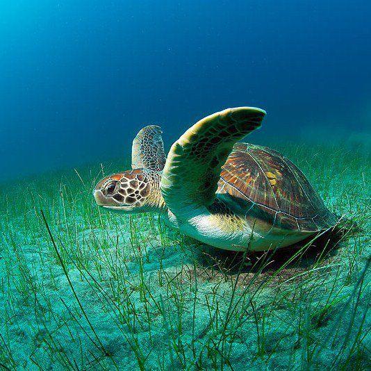 Sea turtle lOOKS LIKE ITS FULL OF EGGS