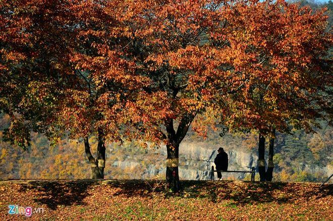 Những tán phong lá đỏ mùa thu