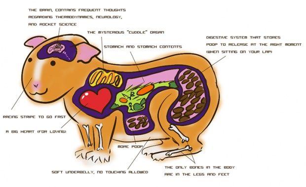 Guinea pig anatomy
