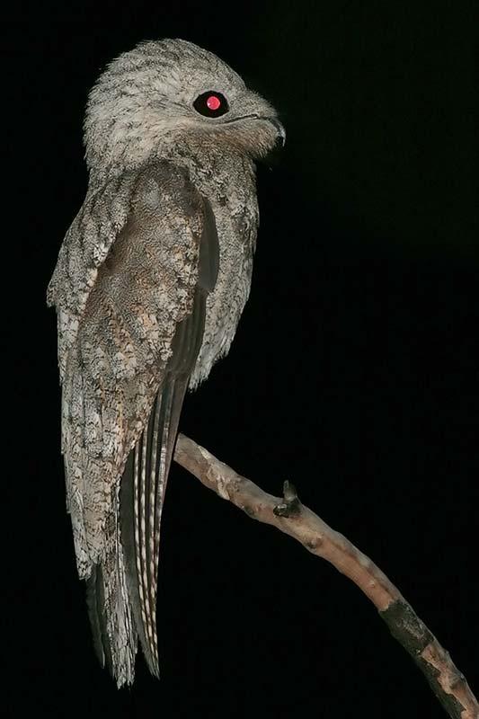 mãe-da-lua-gigante (Nyctibius grandis)