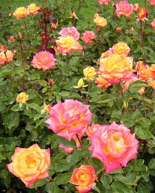 Red Gold Rose | roses | Pinterest