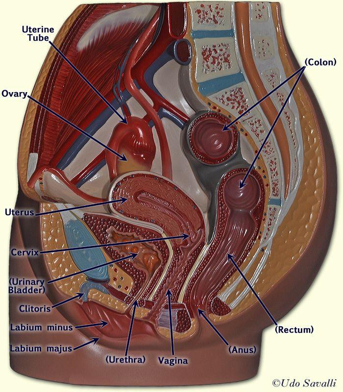 Female pelvis anatomy