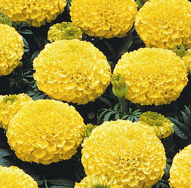 tagetes erecta rose d 39 inde 39 jaune flowers and plants i love pin. Black Bedroom Furniture Sets. Home Design Ideas