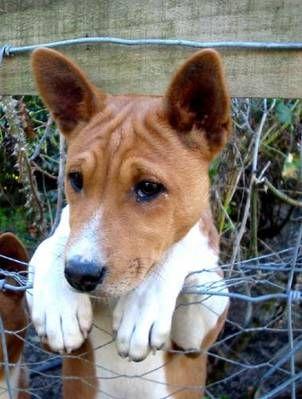 Sweet little basenji puppy