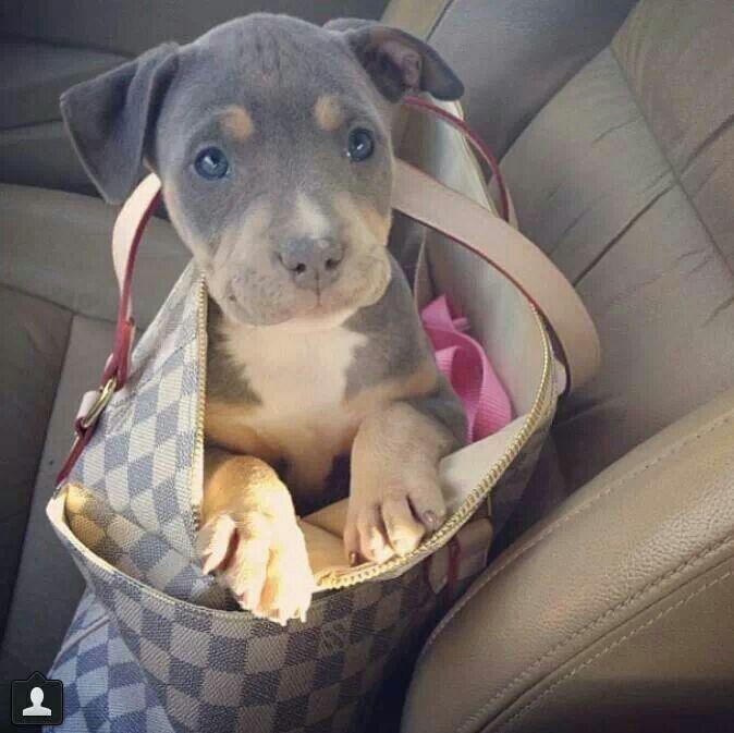 Pitbull mixed with doberman puppies