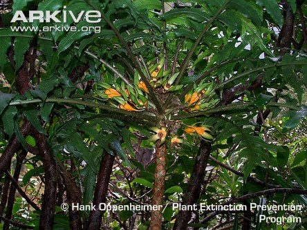 """""""2004: Hawaiian cyanea tree discovered.  This large, tree-like shrub is endemic to Hawaiian island of Maui. Sadly, there were fewer than ten Hawaiian cyanea trees remaining by 2008. In Hawaii it is listed as a """"Species of Greatest Conservation Need"""", and significant efforts are being made to preserve the remaining individuals."""""""