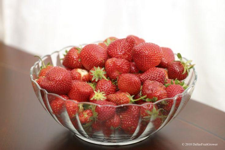 Growing strawberries in North Texas