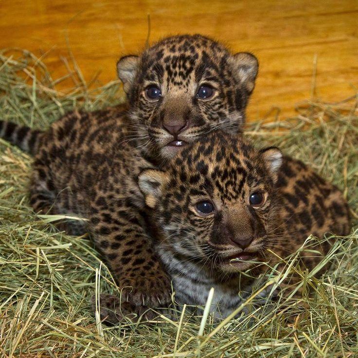 Baby Jaquar cubs | Cute animals(: | Pinterest