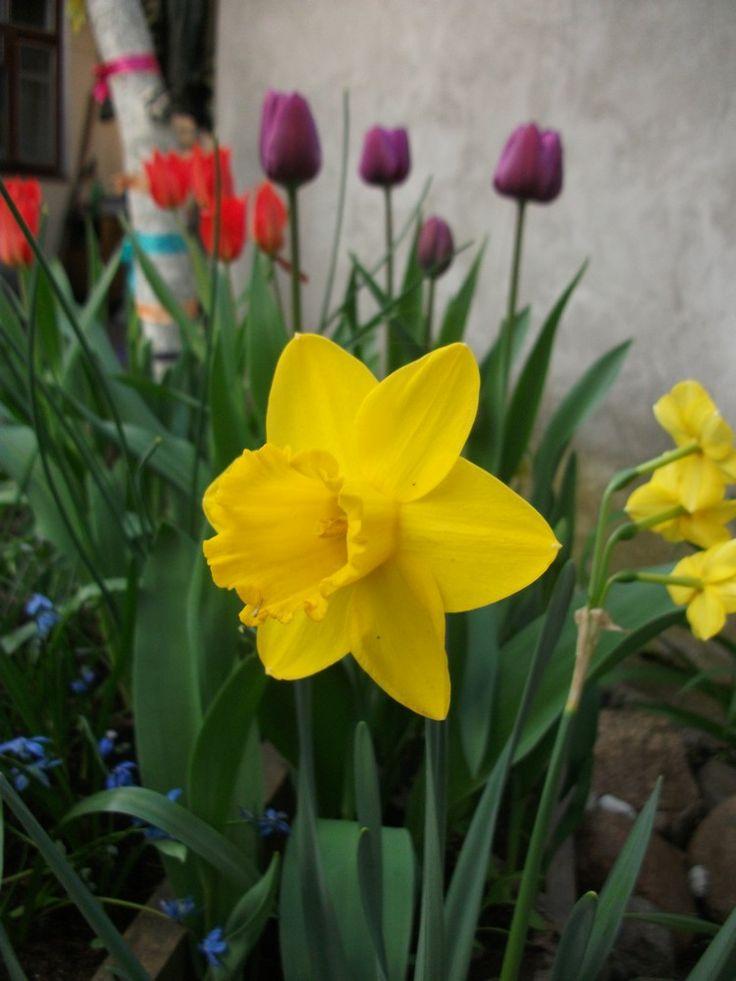 Narcissus 'Golden Harvest' & Túlipa , 20 april 2014 — (750x1000)