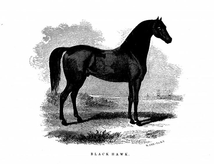 Lithograph of black hawk sire of ethan allen