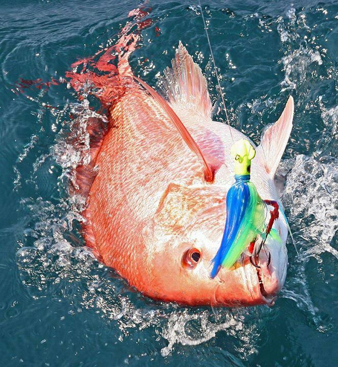 Red snapper saltwater fishing lets just go fishing 7 for Red saltwater fish