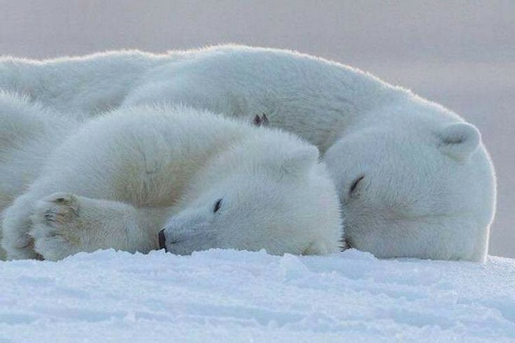 Baby polar bear sleeping - photo#1