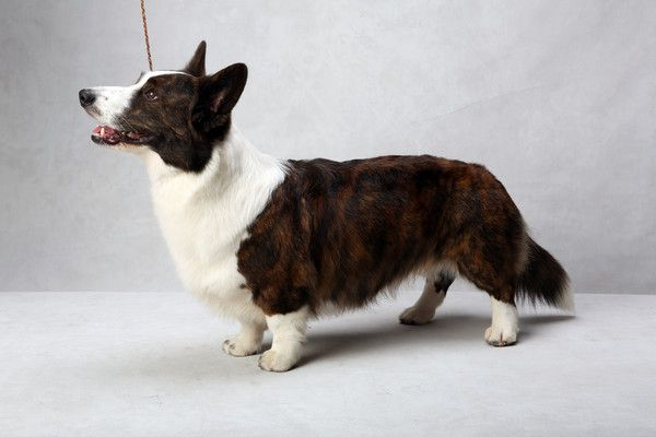 Coco the Cardigan Welsh Corgi (Herding). Coco, registered as Riverside Telltail Coco Posh, is owned by Deb Shindle, Julie Divens and Bill Divens. (Fred R. Conrad, a New York Times photographer, set up a studio at the 2013 Westminster Kennel Club dog show and invited Best of Breed winners to pose.)