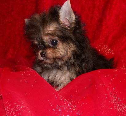 Pin Yorkie Chihuahua Mix Puppies on Pinterest