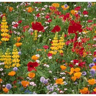 pacific northwest purple wildflowers  Pacific Northwest Wildflowers -