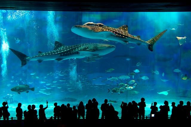 Okinawa Churaumi Aquarium Japan Beautiful Japan Pinterest