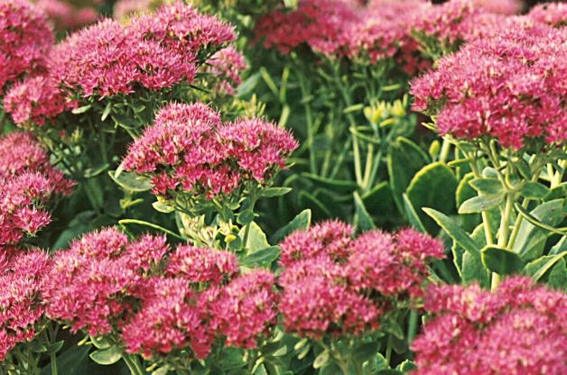 sedum low maintenance perennial plants of interest