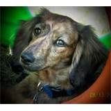 Image detail for -English Cream Brindle