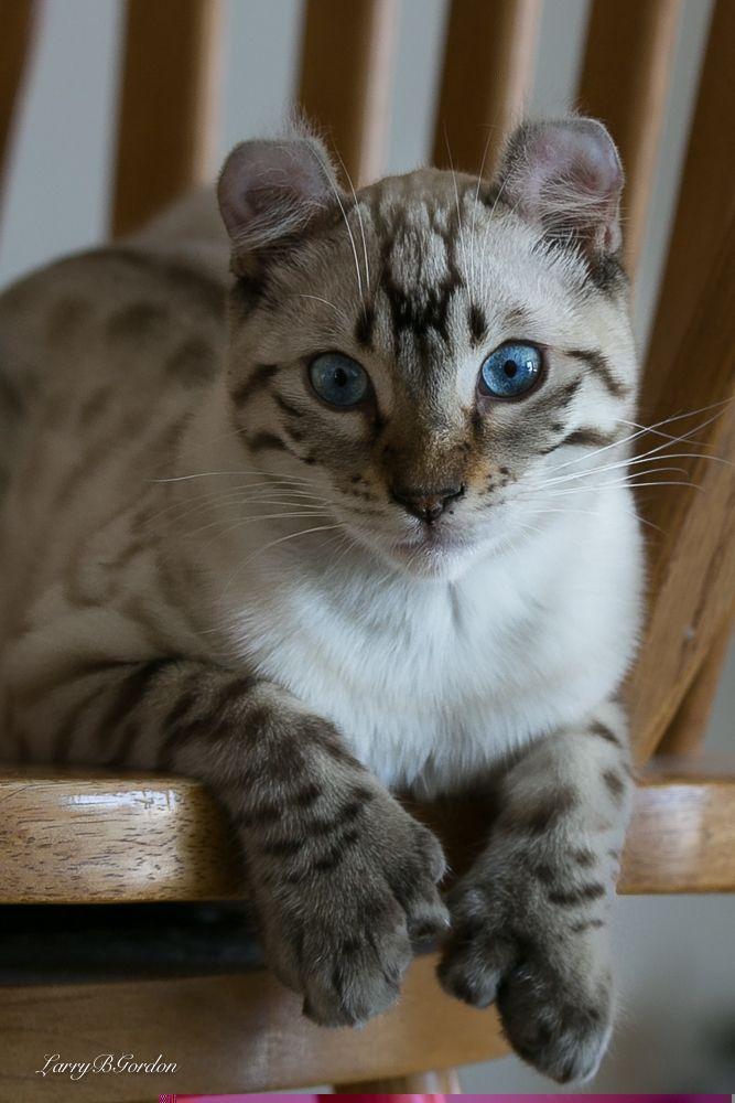 Highland lynx kitten - photo#9