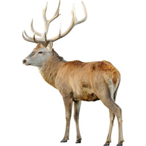 Deer - Red Buck: pinterest.com/pin/373517362815522188