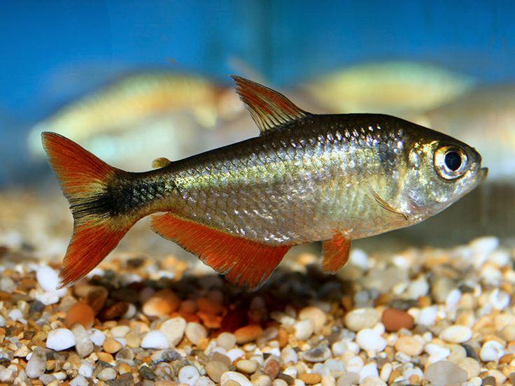 Buenos Aires Tetra Fish and Aquariums Pinterest