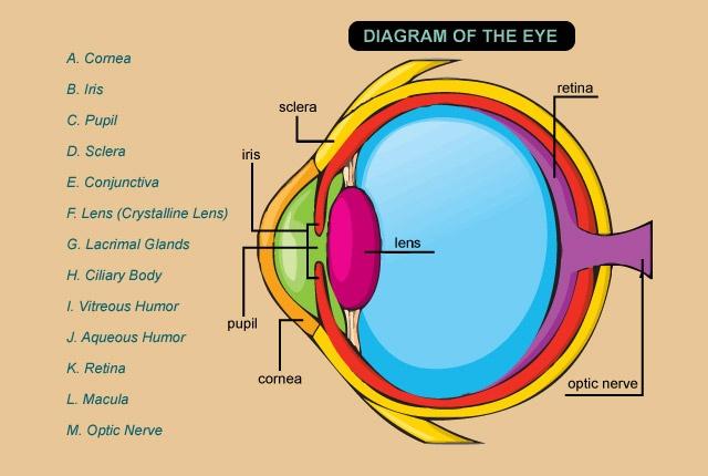 optometry humor | ... Vitreous Humor; J. Aqueous Humor; K. Retina; L ...