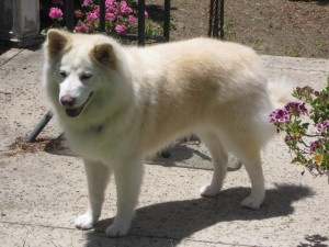 Fluffy is an adoptable Samoyed Dog in Los Angeles, CA. This is a very affectionate, active, happy boy who belies his 7 years of age. He does not get up on furniture, but will put his head on your lap ...