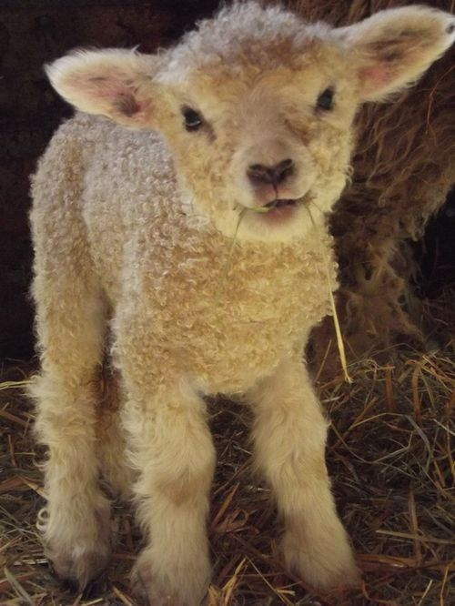 Funny how the lamb has a heart shaped nose, and yet Jesus the Messiah is the Lamb of God who comes bearing love!!!!