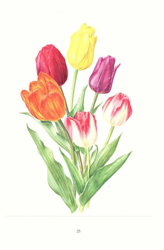 1972 vintage tulip print spring flowers watercolor french for Spring flowers watercolor