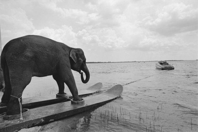water skiing elephant