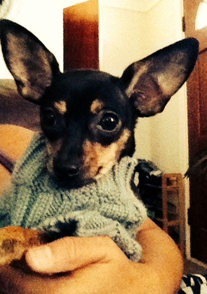 Deer head Chihuahuas | puppy love | Pinterest