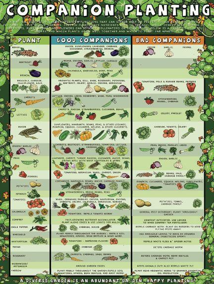 COMPANION PLANTING CHART ORGANIC FOOD BENEFITS