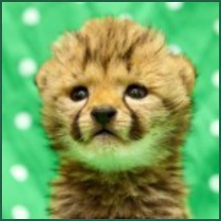 baby cheetah!