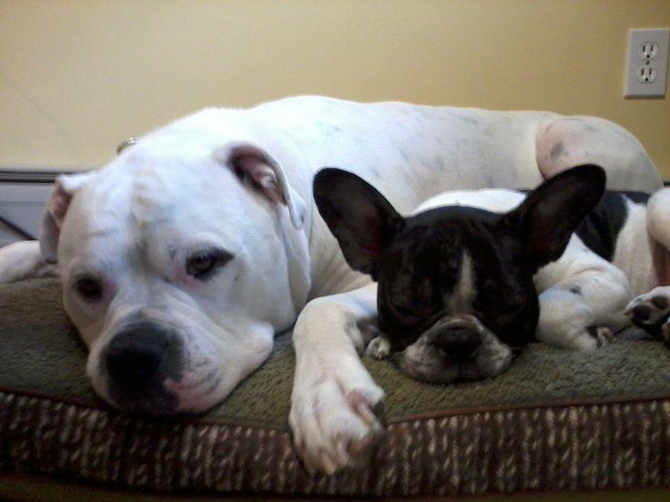 american french bulldog - photo #9