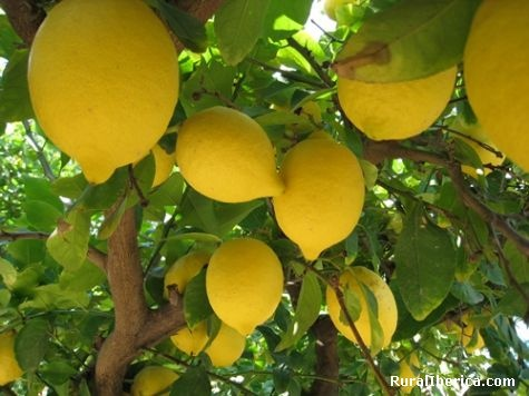 Arbol de limon plantas y arboles frutales pinterest for Arboles frutales para jardin