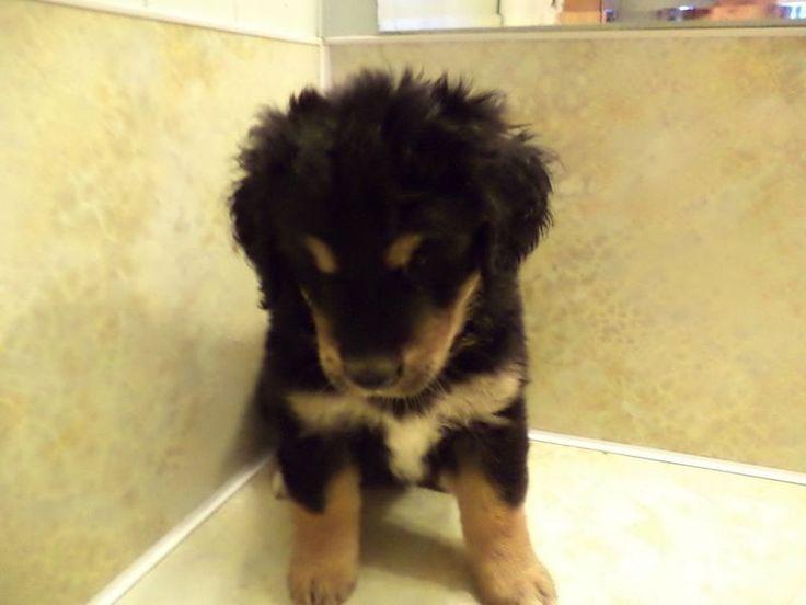 Golden Mountain Dog | Future dog | Pinterest