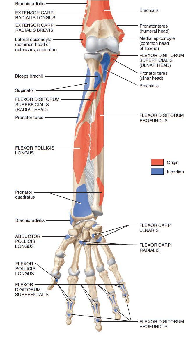 Upper arm bone anatomy