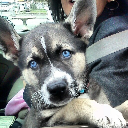 Timber wolf and german shepherd mix