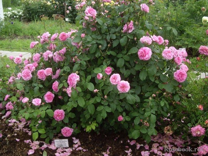 gertrude jekyll roses i love the most pinterest. Black Bedroom Furniture Sets. Home Design Ideas