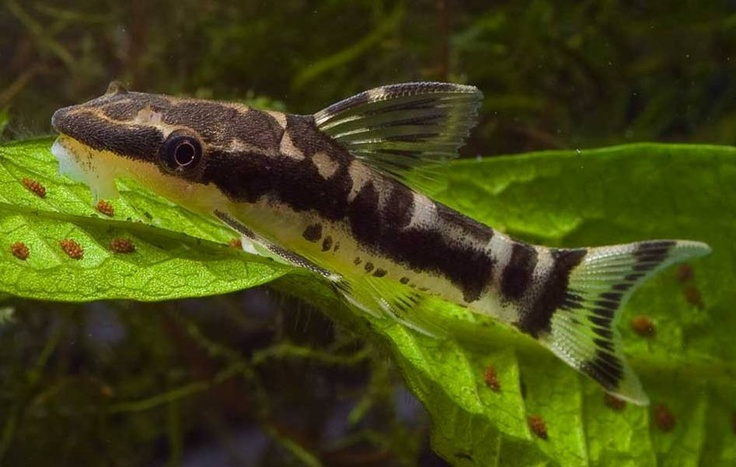 Pin by tammy modlin on cool pinterest for Freshwater cleaner fish