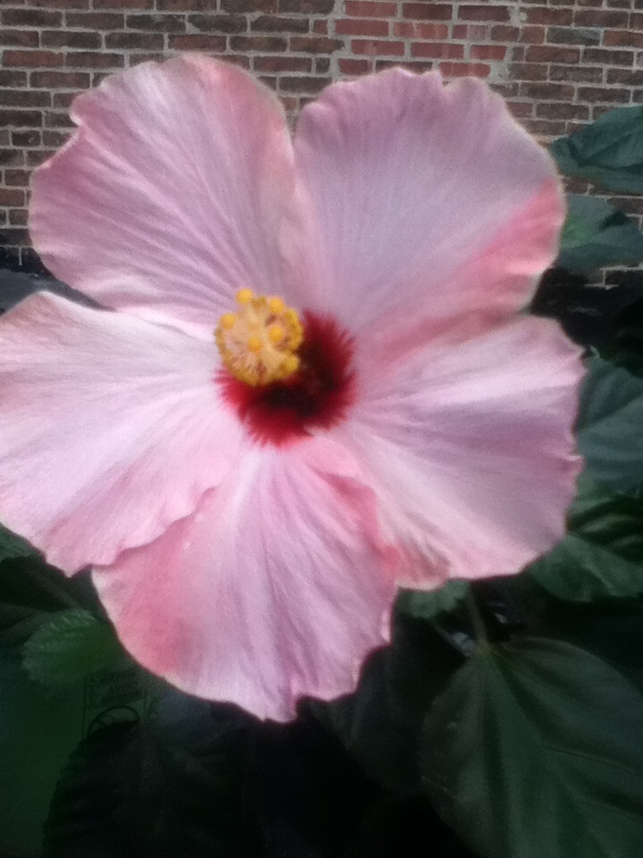 hibiscus flowers for valentines day