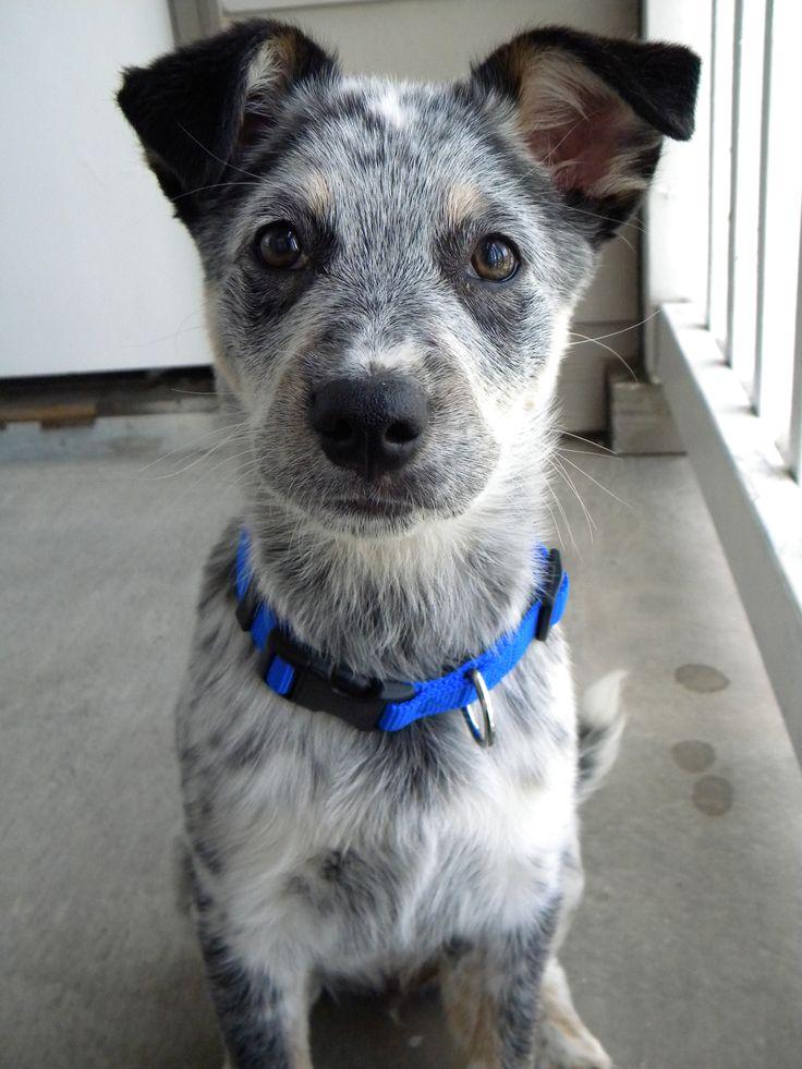 Blue Heeler/Border Collie Mix Puppy | Blue Heeler | Pinterest