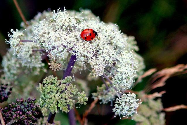 ladybird by inijjer, via Flickr