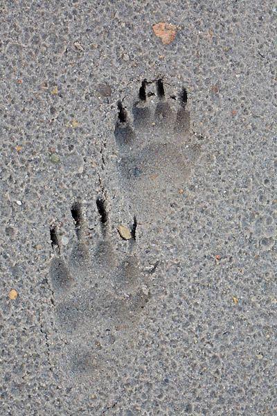 What do deer tracks look like