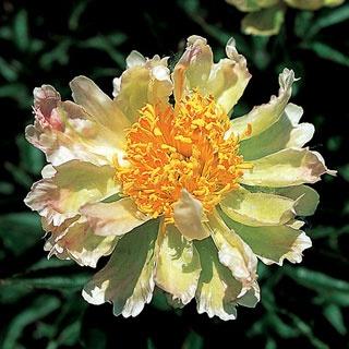 Green Lotus Peony