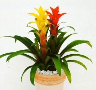 Guzmania good house plant green thumb house plants pinterest - Good house plant ...