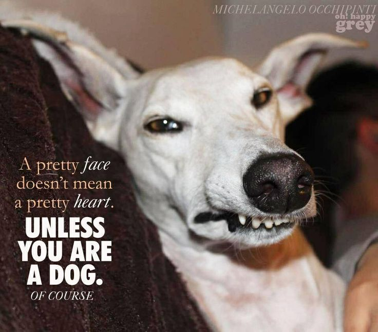 I Heart Whippets Facebook Pin by Sue Summons on ...