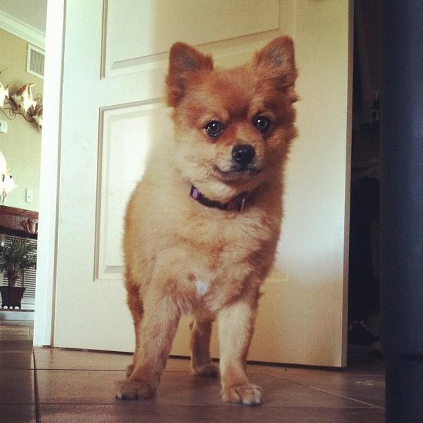 #marco  #pomeranian  #Pomeranian #pics